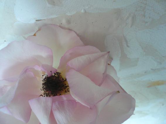 7_Belle_Rose